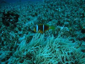 orangefin_anemone_fish.jpg